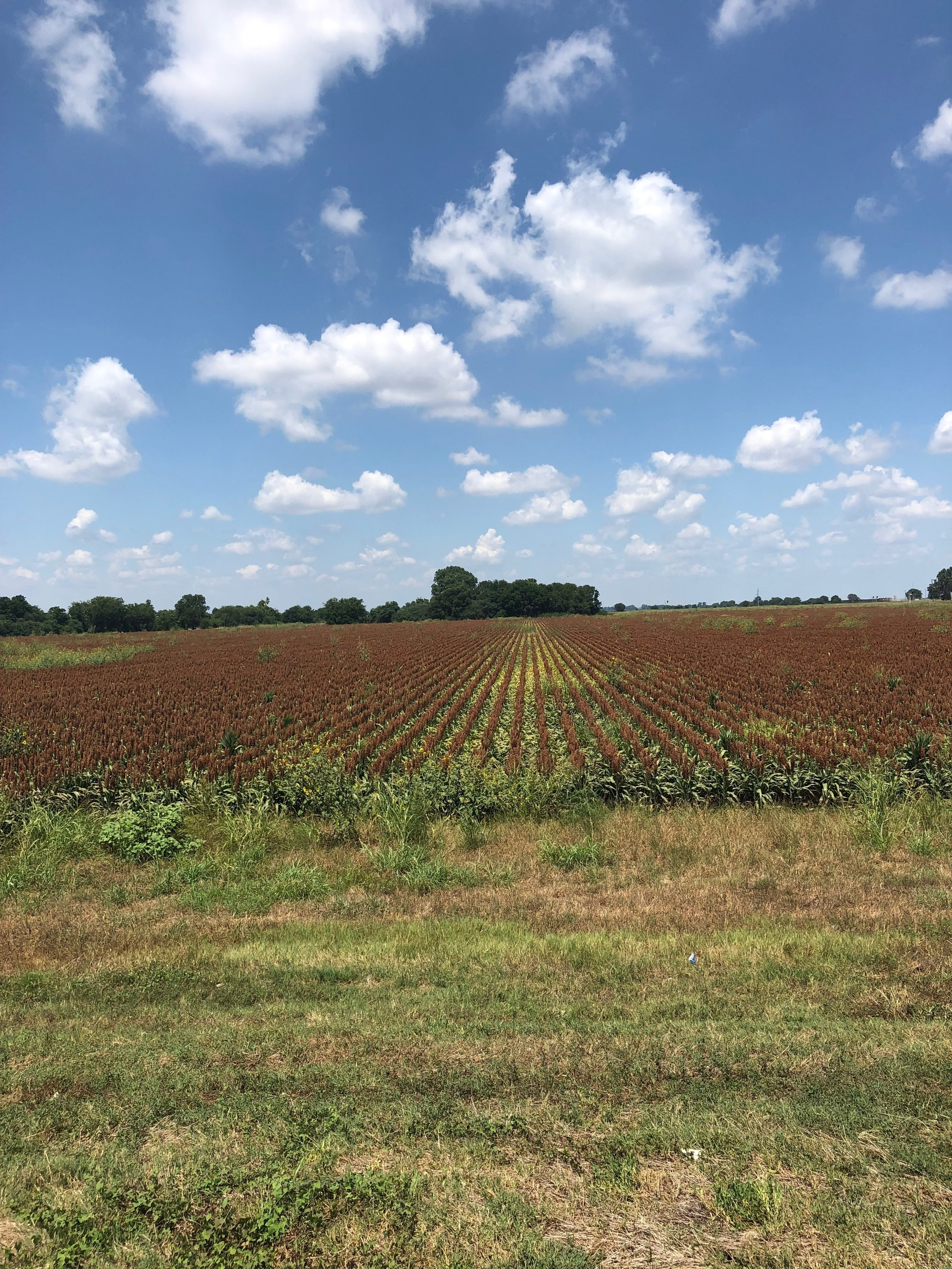 This is the view, a sorghum field on the West side of the scene!!