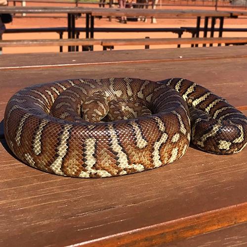 Carrol carpet snake.jpg