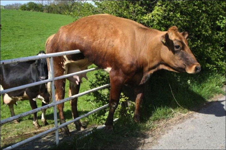 cow on fence.jpg