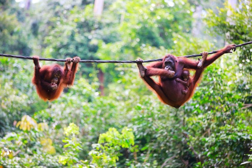 borneo-orangutan.jpg