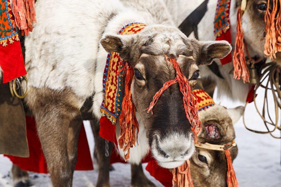 reindeer-e1479706207863.jpg