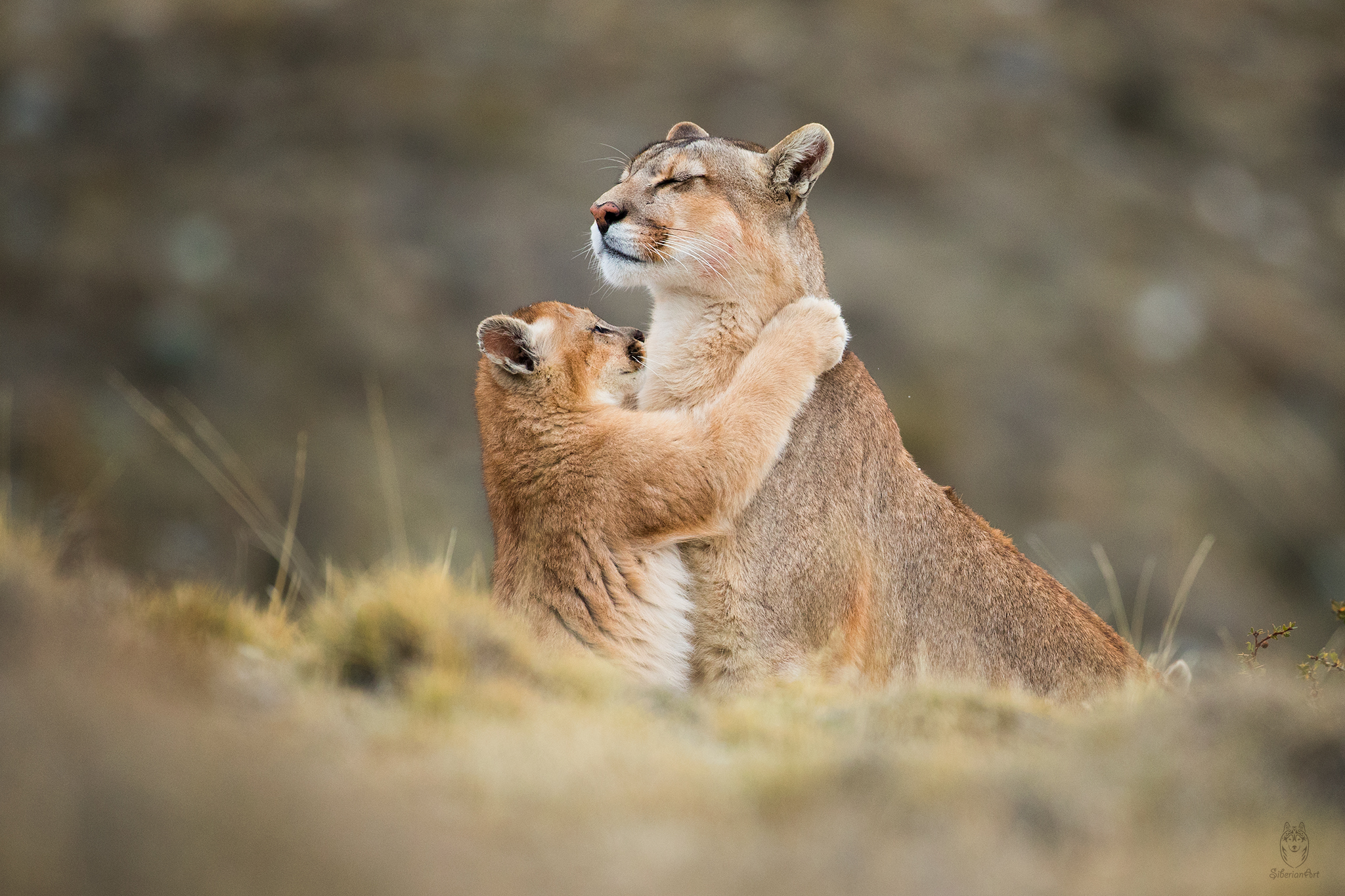 Emotional image of a Puma and kitten hug I captured in Patagonia, Chile.