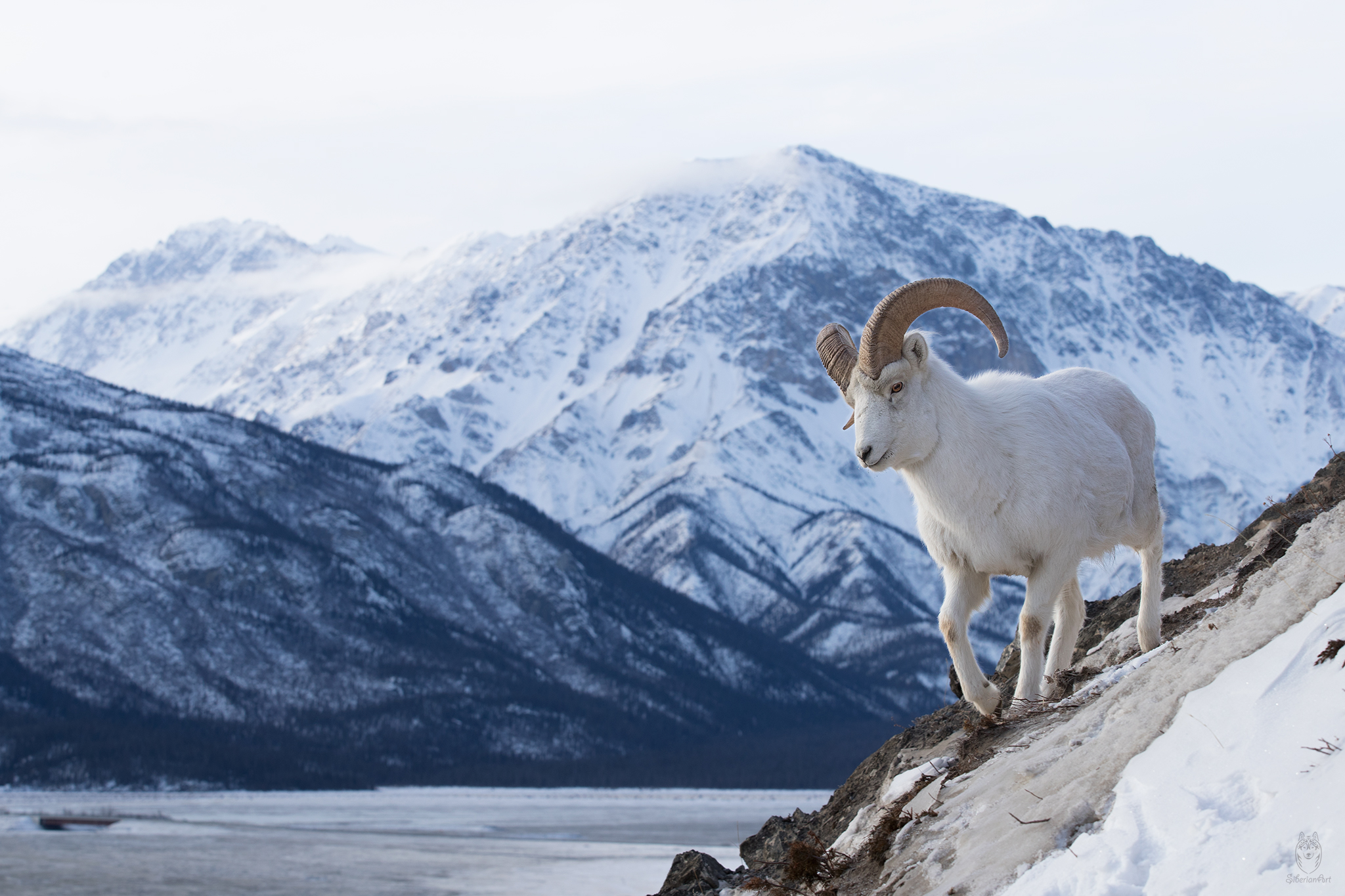 Dall Sheep Image I captured in the Yukon, Canada.