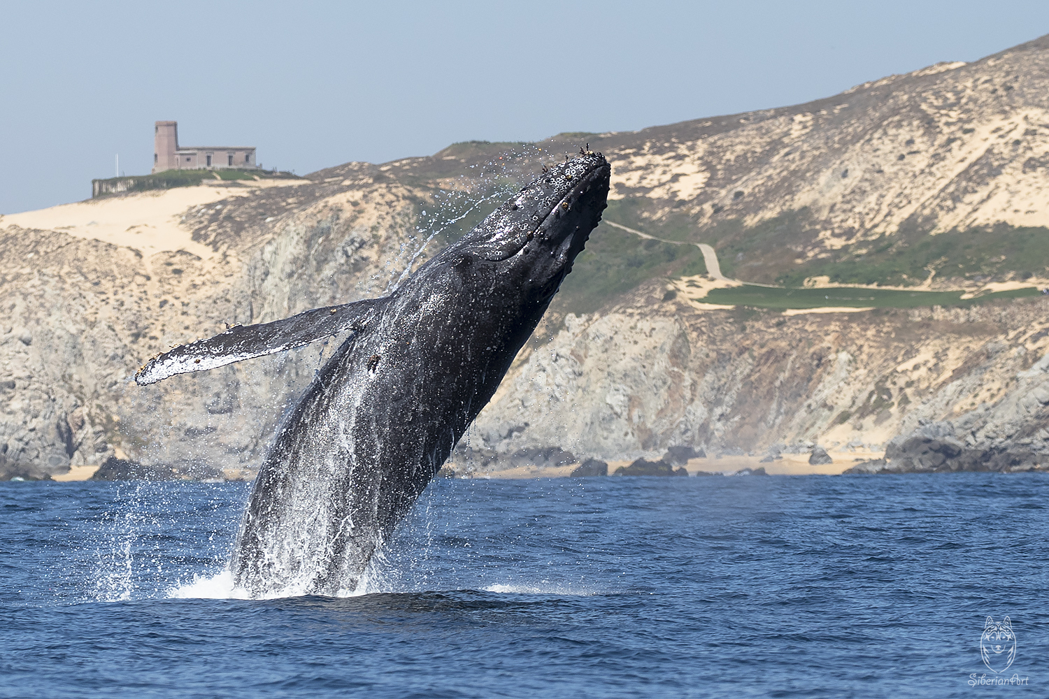 Humpback whale breaching I captured in Baja California, Mexico.