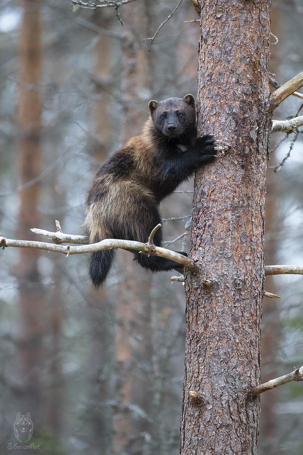 Wolverine captured in Finland.
