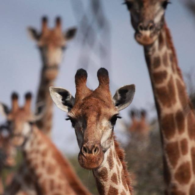 zingela-giraffe