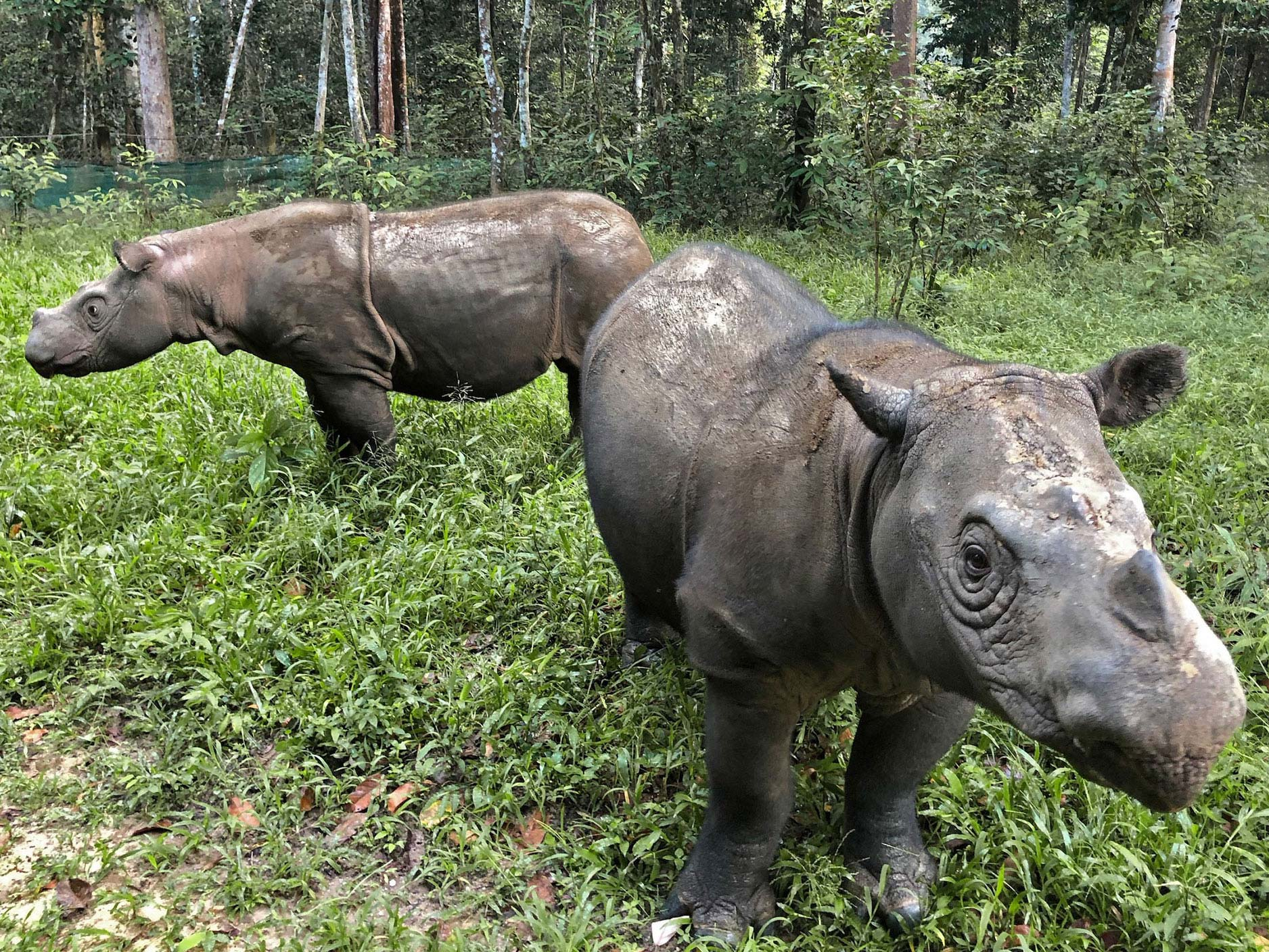 BUILD CAPACITY - With more rhinos rescued from the wild, additional facilities are needed to care for them. To accommodate the rhinos rescued in this effort, Sumatran Rhino Rescue will expand the existing facility in Way Kambas National Park in southern Sumatra, and support the development of two new Sumatran rhino sanctuaries in Indonesia — one in Indonesian Borneo and the other in northern Sumatra.