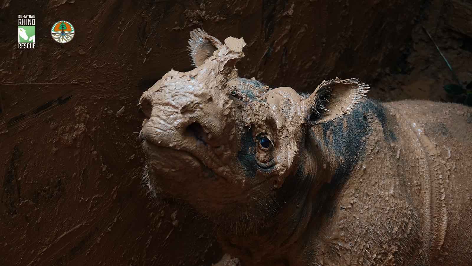 branded_Sumatran rhino 5.jpg