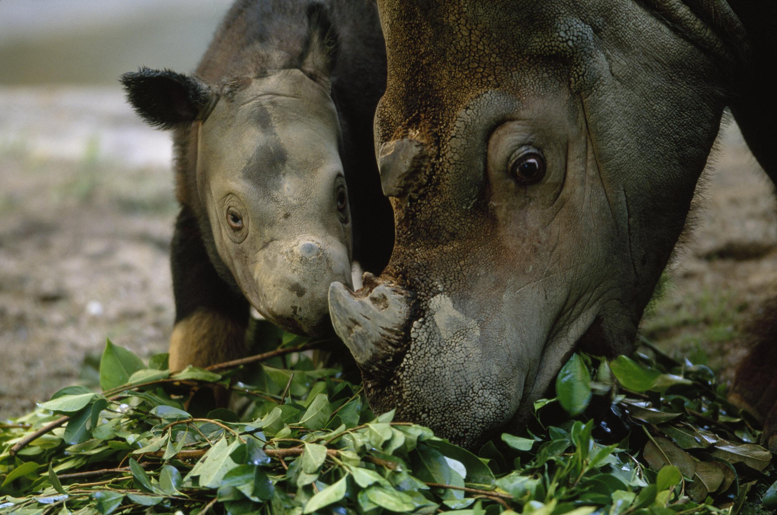 An adult Sumatran rhino and calf. Fewer than 80 Sumatran rhinos remain in the world. Photo credit: Joel Sartore/National Geographic