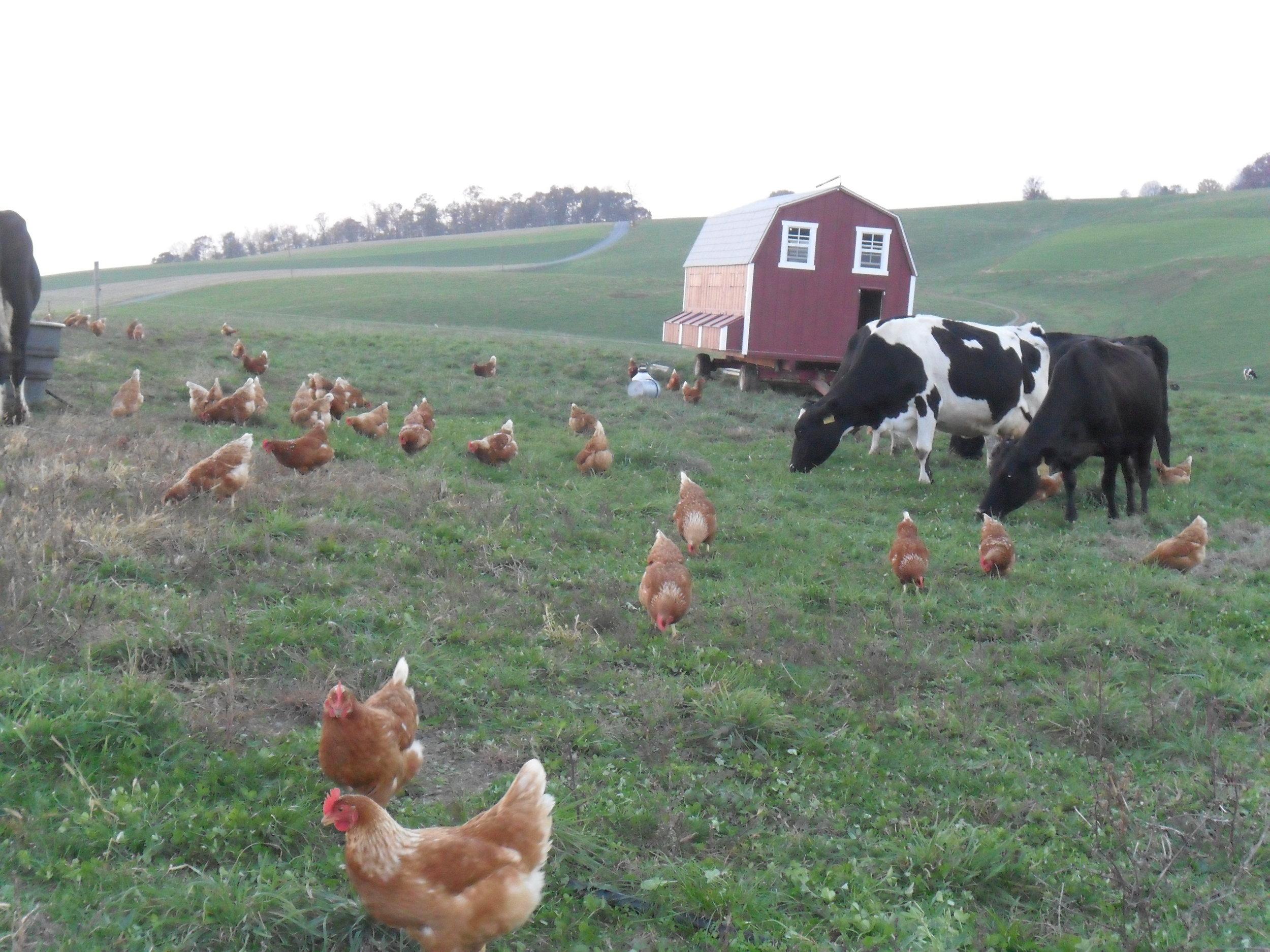 Gregory Stricker - Laying Hens 019.jpg