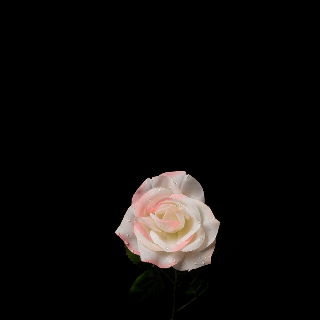 Water Rose , 20 x 20 inches, archival pigment print, 2009