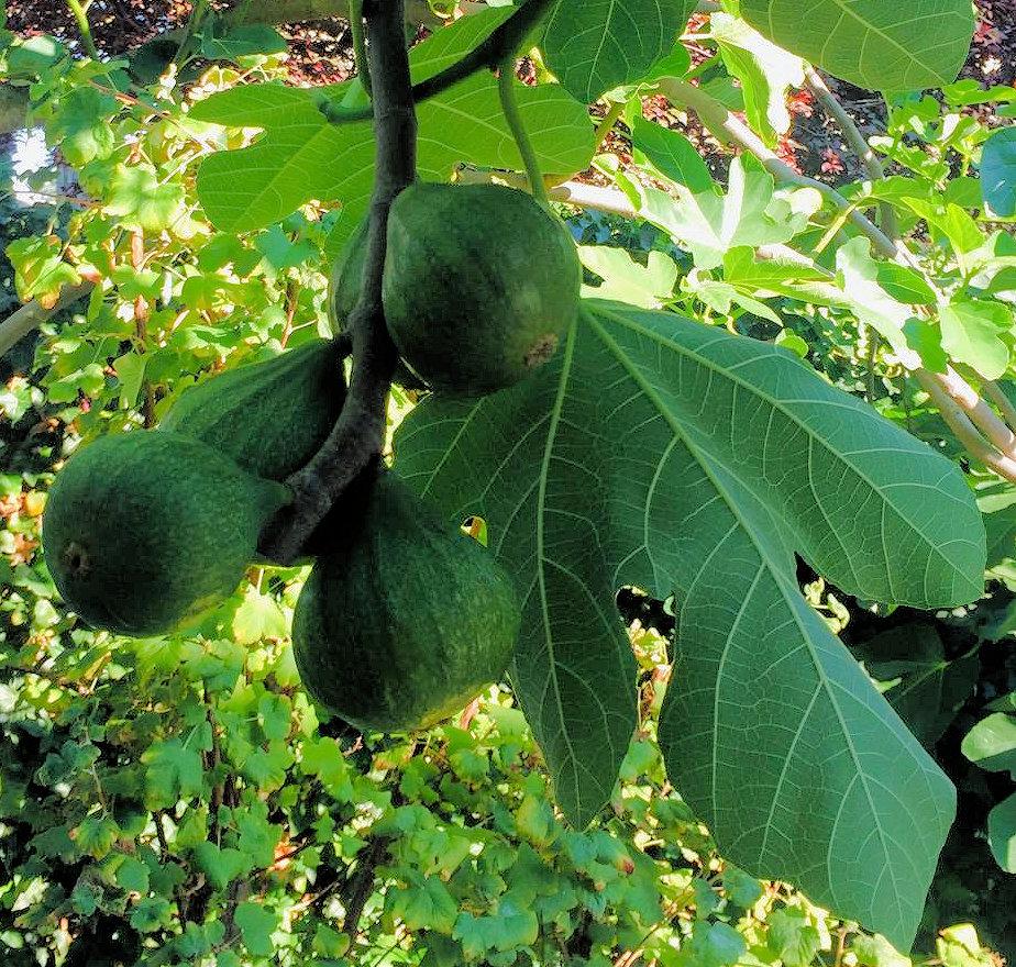 figstree.jpg