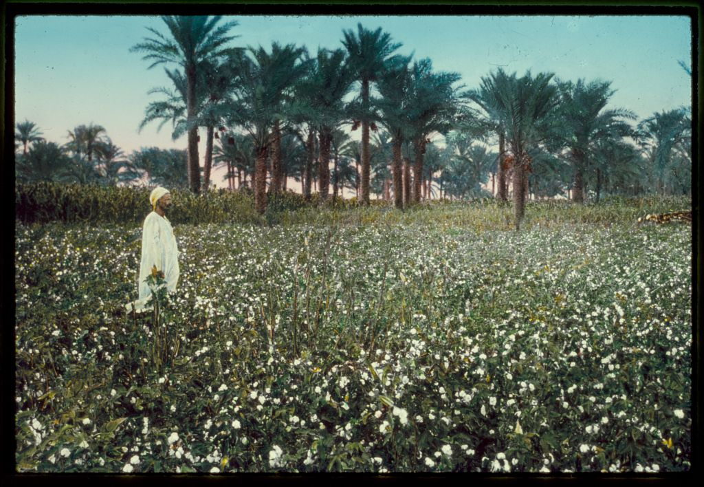 """Egypt. Agriculture. An Egyptian cotton field,"" Matson Photo Service, photographer, between 1950-1977. Library of Congress LC-M305- SL17-5054"