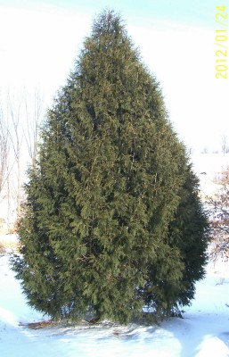 - Techny Arborvitae above - We have lots of potted/bare root available this year.