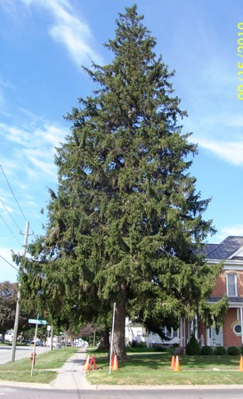 - 80+ year old Norway Spruce, Best large windbreak tree, very strong and live a long time.