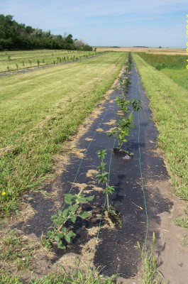 Newly planted windbreak in North Dakota, in Iowa and surrounding states we usually do not recommend using fabric for weed control but recommend herbicides. Fabric in our area is a home for mice, voles and rats and they eat the trees stems and roots in the winter.