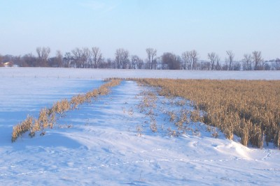 Looking North here is a corn field used as a living snow fence, (probably not planned that way) good example of how a living snow fence does work.  For more long term effect to stopping the blowing snow use a combination of trees, shrubs or any other growing plants to accomplish this task. If you would like us to design a living snow fence/windbreak for you drop us an E-mail.