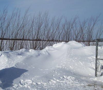 One row of 12 ft. tall Austrees only 2 years old, the drift was over 4 ft tall. They really make a great living snow fence right away and provides a lot of windbreak protection even in the winter.