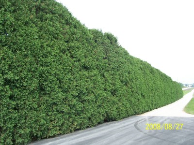 Hedge-row of Techny Arborvitaes, 25 years old. Trimmed back from the driveway, great one row windbreak.