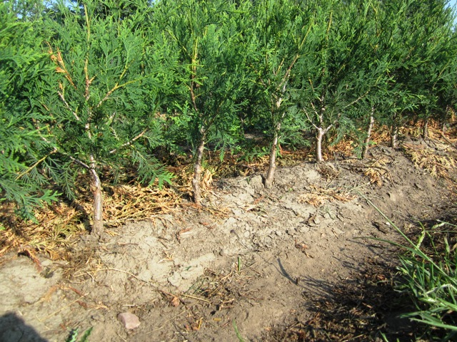 """All our Technys that we grow bare root and potted are pruned up to one stem, at the bottom after the first year, to prevent the problem of splitting apart in the future. So no matter where you buy your Technys or any Arborvitae, be sure they are pruned at the bottom to a single leader up to about 4""""-8""""."""