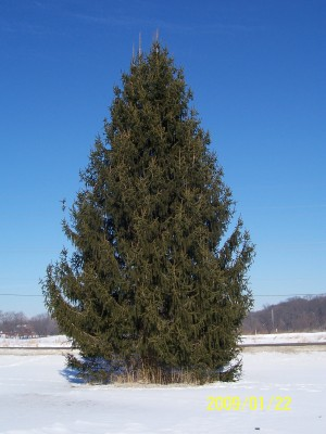 15 year old Norway Spruce 35 ft tall.