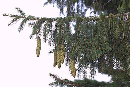 Cones and foliage hang down from the branch, very characteristic of Norways.