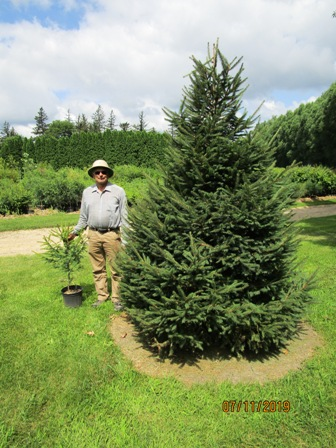 I am holding a 2-3 ft Norway  Spruce. On the right is what it looks like after 5 years of growth. Notice weed and grass control around tree, very important for good growth.