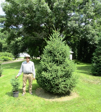 White Spruce 5 years old from a 2-3 ft potted tree to an 8 ft tree.