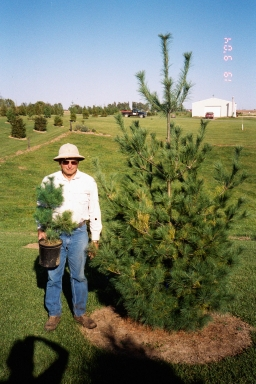 White pine from 3 ft potted to 8 ft tree in 5 years.