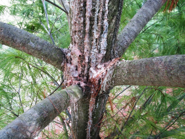 Zimmerman Pine Moth Damage, White Pine are now effected