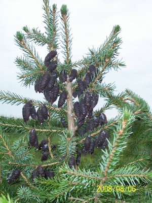 Seed cones on the Serbian Spruce
