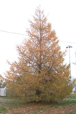 Fall Picture of European Larch when the needles are falling off.