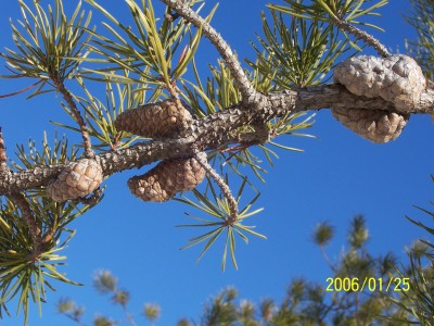 Jack Pine, seed cones and needles