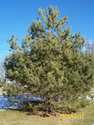 7 year old Scotch Pine
