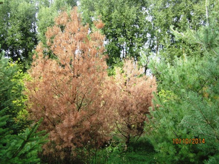 Scotch pine dead 2014.jpg