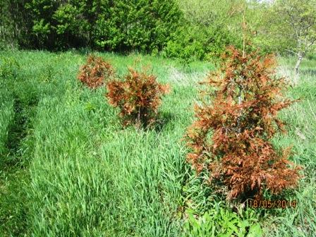 Winter damage on Green Giant Arborvitae