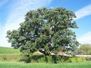 Bur Oak, large, long lived tree.   Common throughout Iowa and lives a long time usually, see below.