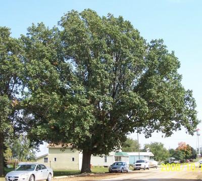 Swamp Wt oak summer.jpg