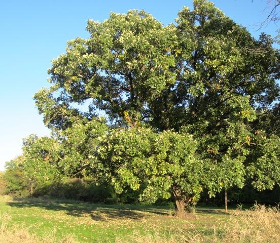 Swamp bur oak tree 2013.jpg