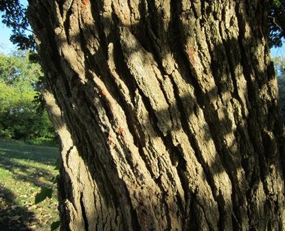 Bark on a Swamp Bur Oak   The bark on the Swamp bur oak look like a regular bur oak with some trees showing a more rougher bark characteristic.