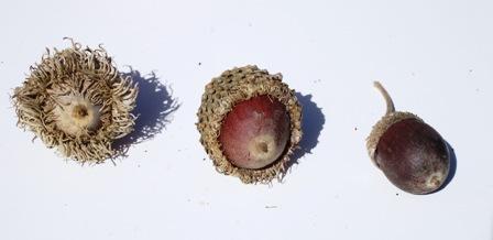 The swamp bur oak is the middle one. On the left is a large bur oak and on the right is a swamp white oak acorn