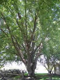 Branch structure of the silver maple