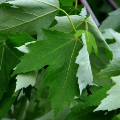 Leaf shape and color of the silver maple