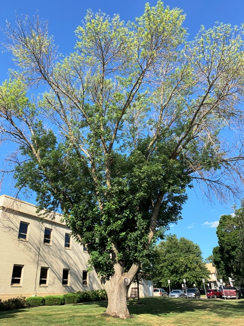 Green ash tree infected with Emerald Ash Boer.