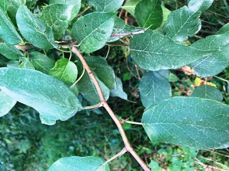 Osage Orange leaves and thorns at base of each leaf