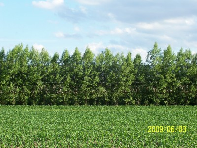 Single row of Austrees 3 years old, 25 ft tall blocking sight of hog building behind the Austrees.