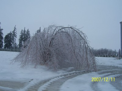 Austrees with 1 inch of ice on them, they are very flexible and quite strong.