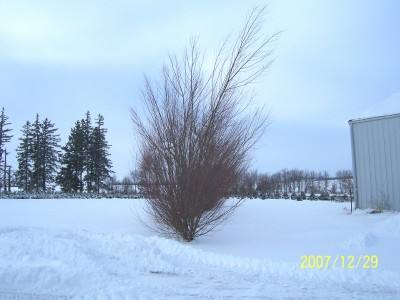 Weather warmed up and 2 weeks later the austrees sprang back up and no branches were broken.