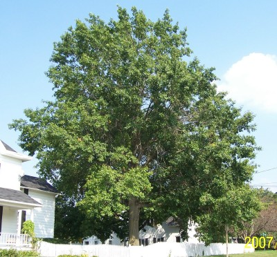 Mature Pin Oak Tree