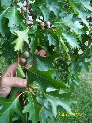 Pin Oak Seeds
